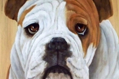 Bull Dog Pet Portrait