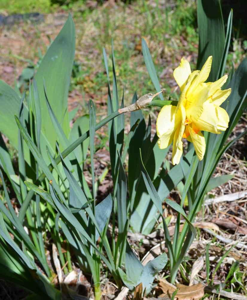 Hybrid-Daffodil-A