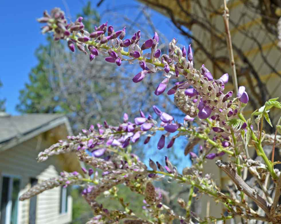 Wisteria-Early-Bloom