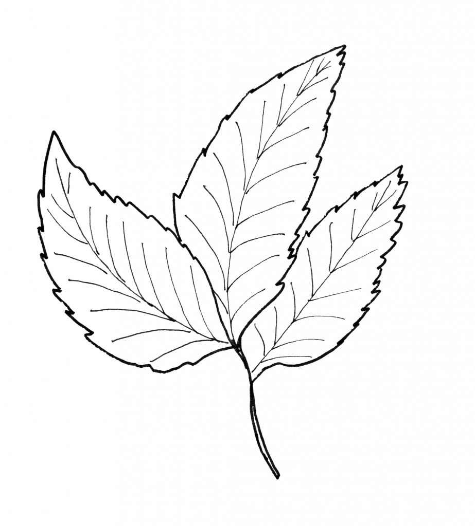Hickory Leaf Pattern