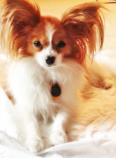 papillon-pet-portrait