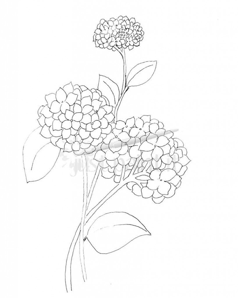 Peony Flower Line Drawing Sketch